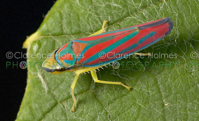 Red-banded Leafhopper (Graphocephala coccinea) on a leaf