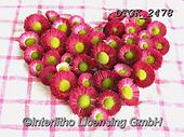 Gisela, FLOWERS, BLUMEN, FLORES, photos+++++,DTGK2478,#f#, EVERYDAY