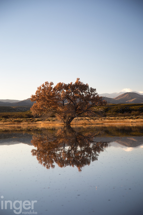 Cottonwood Tree Reflection at Bosque del Apache, New Mexico