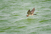 Cliff Swallow, Estero Llano Grande State Park, Texas