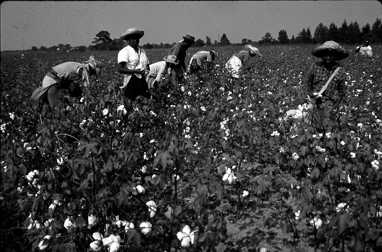 People picking cotton on farm of Minnie Guise in Mt. Meigs, Ala. Photo by Jim Peppler taken for two essays published in The Southern Courier on September 10, and Sept. 17, 1966. Copyright Jim Peppler/1966. This and over 10,000 other images are part of the Jim Peppler Collection at The Alabama Department of Archives and History:  http://digital.archives.alabama.gov/cdm4/peppler.php
