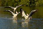 White Pelicans Landing, American White Pelican, Sepulveda Wildlife Refuge, Southern California