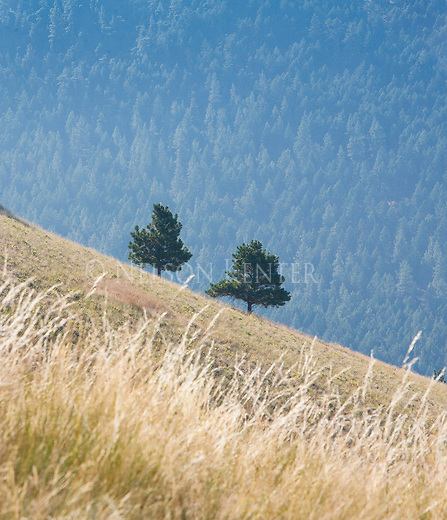 two pine trees on a slope off of mount sentinel in missoula, montana