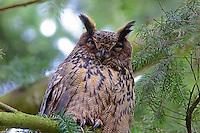 Uhu, Bubo bubo, Eagle Owl, Hibou grand-duc, Grand-duc d'Europe