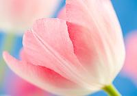 Pink Tulip.