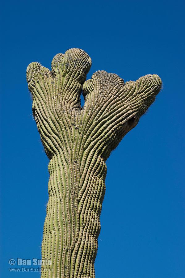 Cristate or crested saguaro, Carnegiea gigantea.  Arizona-Sonora Desert Museum, Tucson, Arizona