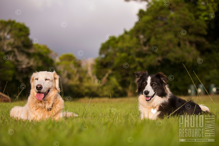 A Golden Retriever and a Border Collie lying down on the grass in Pupukea, North Shore of Oahu