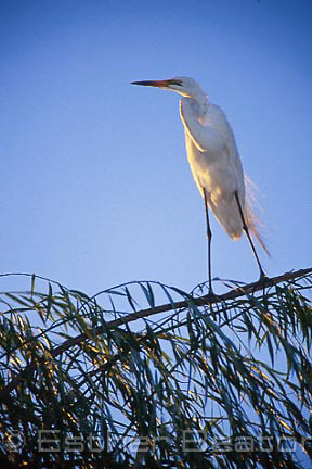 White Egret (Egretta alba) in breeding plumage, sunset, Brown's Lagoon Reserve, Albury, NSW