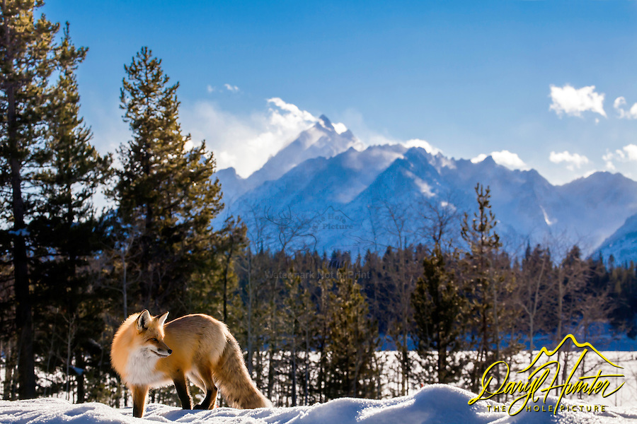 Red Fox, Grand Tetons, Grand Teton National Park