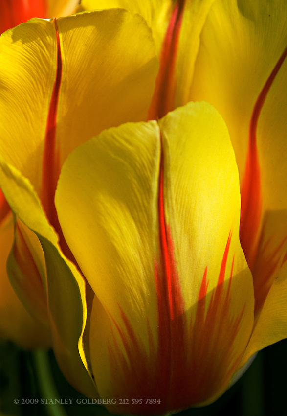 Yellow Sunburst Tulip