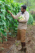 Récolte de chouchoutes (exploitation La Ferme du Sud, Mont-Dore)