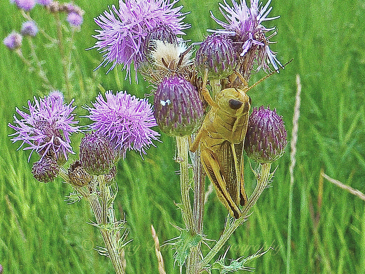 Photo of Green locust feeding on purple thistle blooms.