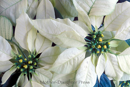White poinsettaa, Euohorbia pulcherrima, for winter holiday