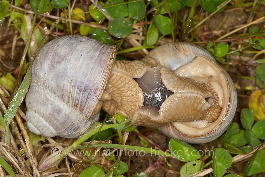 Weinbergschnecke, Paarung, Kopulation, Kopula, Weinberg-Schnecke, Helix pomatia, Roman snail, escargot, escargot snail, edible snail, apple snail, grapevine snail, vineyard snail, vine snail