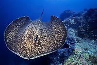 Marbled sting ray swimming, Taeniura meyeni, Cocos Island, Costa Rica, Pacific Ocean