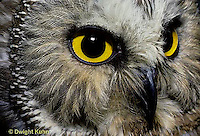 OW02-167a  Saw-whet owl - close-up of face showing curved beak and eyes - Aegolius acadicus