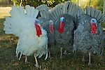 White Holland Heritage Turkey