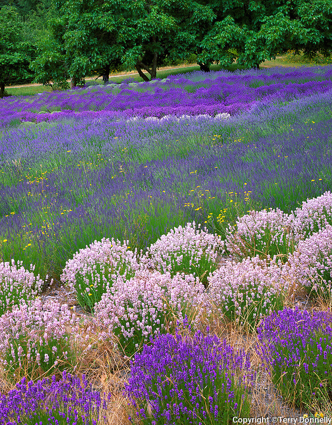 Vashon Island, WA<br /> Rows of various colored lavender in a cultivated field