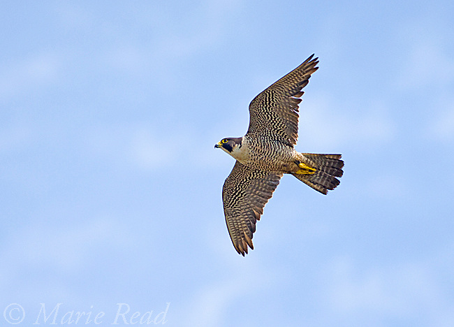 Peregrine Falcon (Falco peregrinus), Pacific race, adult in flight, California, USA