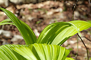 Appalachian Trail - Indian Poke - Veratrum veride - on the side of the Appalachian Trail, near Kinsman Mountain (South Peak), in New Hampshire during the spring months.
