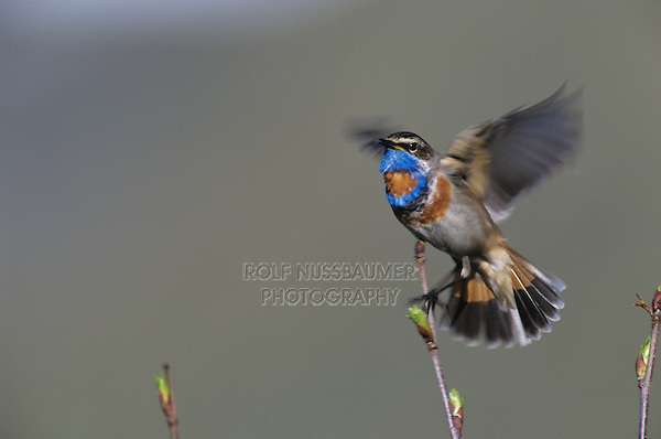 Bluethroat, Luscinia svecica,male flapping wings while singing, Lake of Ritom, Alps, Switzerland, May 1995