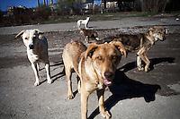 BULGARIA, Sofia, 2012/04/5..A group of stray dogs in the streets of Lyulin quarter in Sofia, Bulgaria..BULGARIE, Sofia, 2012/04/5..Un groupe de chiens errants  dans les rues du quartier de Lyulin à Sofia, Bulgarie..© Pierre Marsaut