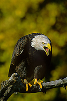 521040048 a captive wildlife rescue bald eagle hailaeetus leucocephalus perches on a tree limb calling with fall colored trees in background in central colorado united states
