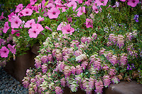 Ornamental Oregano (Origanum rotundifolium) 'Kent Beauty' with colorful bracts in organic garden, Pink petunia, Supertunia 'Vista Bubblegum'