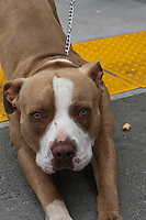 A male brown bicolor terrier / American Pit Bull. N053