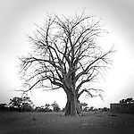 African Baobab, big trees of Africa