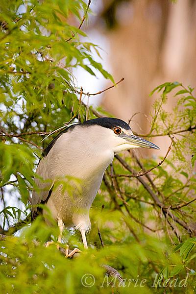 Black-crowned Night-Heron (Nycticorax nycticorax), California, USA
