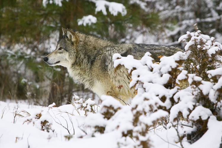 Grey Wolf standing and watching intently - CA