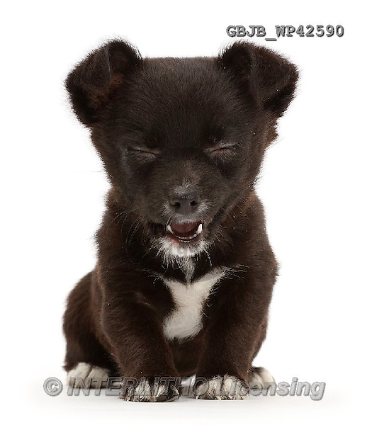 Kim, ANIMALS, REALISTISCHE TIERE, ANIMALES REALISTICOS, fondless, photos,+Jackahuahua puppy making a funny face,++++,GBJBWP42590,#a#
