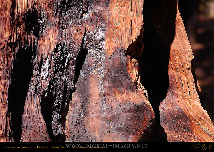 Giant Sequoia Bark Detail, Fire Scars, Sequoiadendron giganteum, Grant Grove in Autumn, King's Canyon National Park