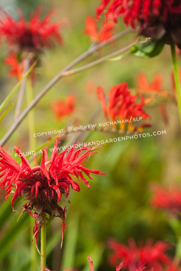 Red bee balm with the arching stems of crocosmia in the background