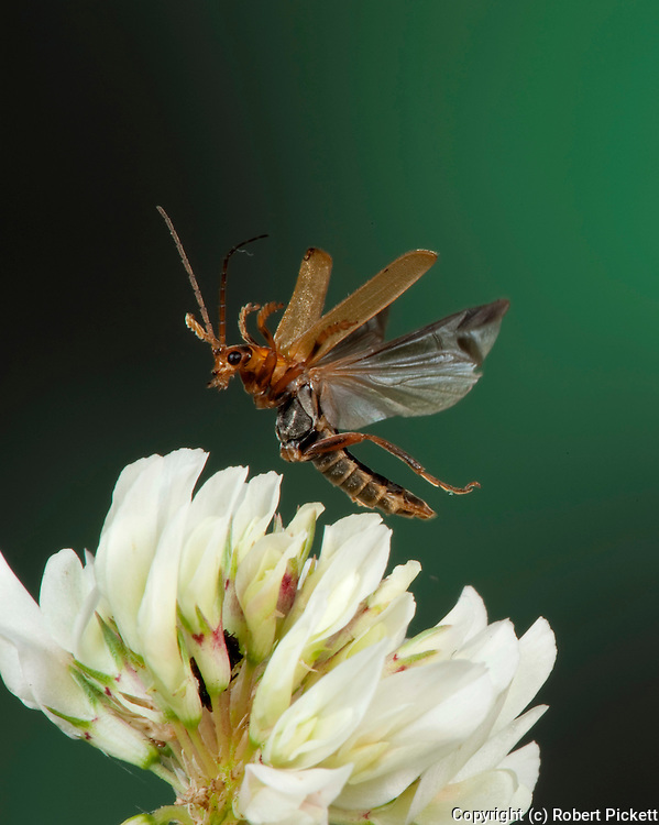 Soldier Beetle, Rhagonycha fulva, In flight, free flying, High Speed Photographic Technique.United Kingdom....