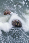 Walruses in surf, Alaska