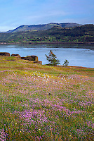 USA, Washington, Columbia River Gorge National Scenic Area, Rosy plectritis blooms in Catherine Creek area; in the distance is the Columbia River and Rowena Crest in Oregon.