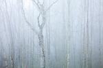 Birch trees at Newfound Gap, Great Smoky Mountains National Park, North Carolina, USA