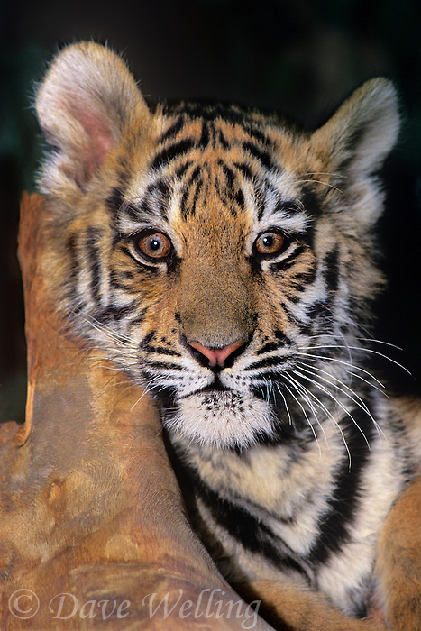 683999200 a bengal tiger cub panthera tigris rests against a large log at a wildlife rescue facility species is highly endangered in the wild