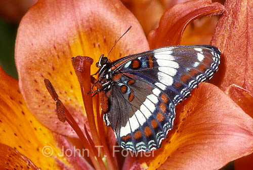 White Admiral butterfly, Limenitis arthemis, arthemis, Red-spotted Purple
