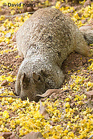 0613-1110  Rock Squirrel (Ground Squirrel) Digging into the Ground, Pregnant Female, Spermophilus variegatus (Otospermophilus variegatus)  © David Kuhn/Dwight Kuhn Photography