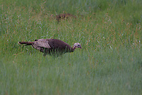 Wild Turkey feed in a meadow in southern Utah's Dixie National Forest on a summer day.