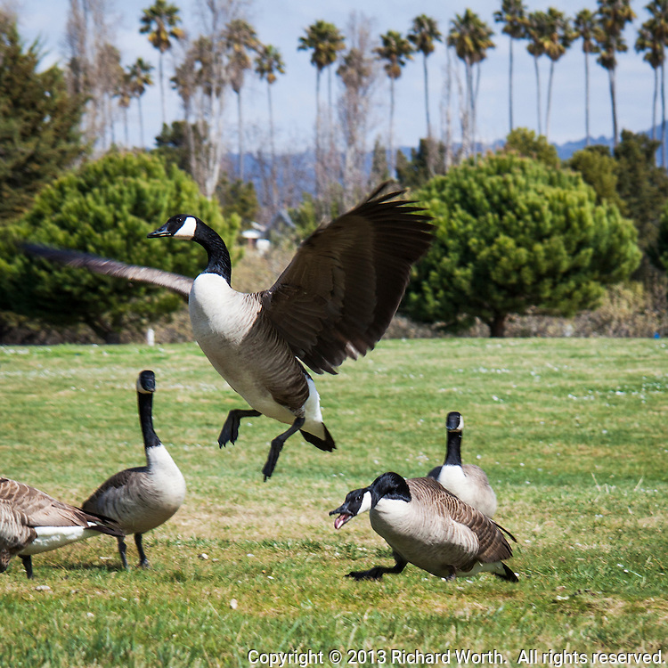 Squawking menacingly, one Canada goose chases after another till the victim finally takes to the air, flying a few feet away and out of reach of its tormentor at Crown Beach in Alameda, California.