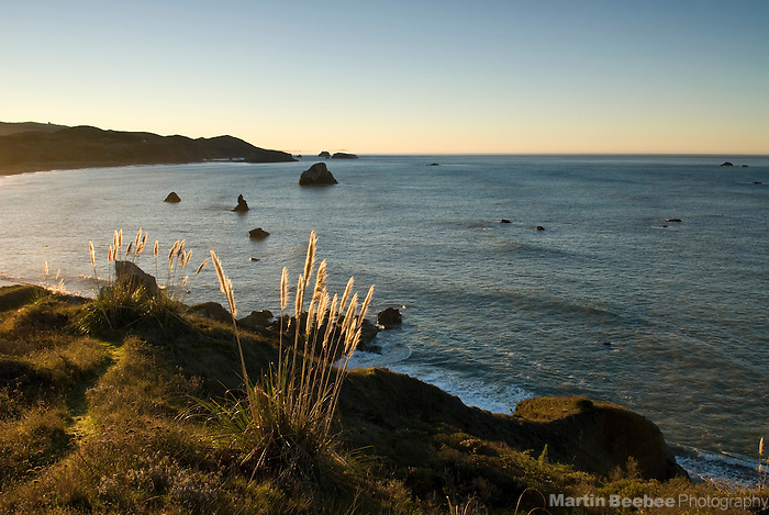 Pampas grass (Cortaderia sp.) on the Sonoma County coast, California