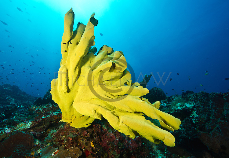 yellow leafy sponge Lanthella basta
