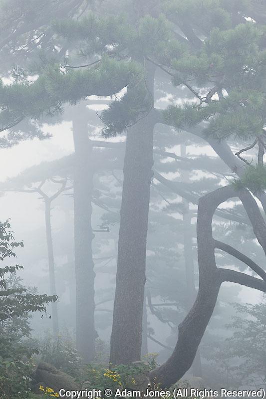 Tree in fog, Yellow Mountain, Huangshan, China