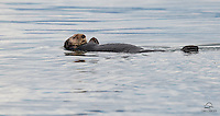 After re-fueling just outside of Petersburg, Alaska, we came upon this very relaxed-looking sea otter (Enhydra lutris).  Considering it was in the middle of an open ocean without any other otters around, it looked happy to be merrily going on its way.  And yes, it was on a Sunday afternoon.