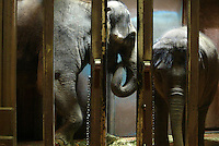 On February 28, 2005 in Seattle,WA. at the Woodland Park Zoo, Chai, a 27year old Asian elephant from Thailand and her baby Huntsa,  hang out in a cage shortly after Chai went through an artificial insemination procedure. Scientisists from Germany were here to perform it. (staff photo/Karen Ducey).