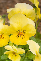 Viola Sorbet Lemon Chiffon pansy in spring bloom, yellow flowers with mask stripes